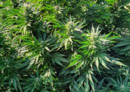 Was sind Cannabinoide und wie wirken Sie?