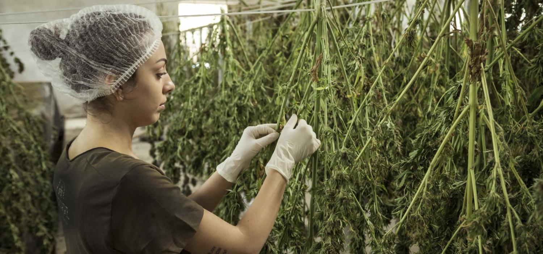junge frau mit schutzhaube und handschuhen steht an getrockneten cannabispflanzen