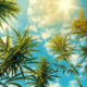 Cannabis Sativa Pflanzen in der Sonne blauer Himmel mit ein paar weißen Wolken